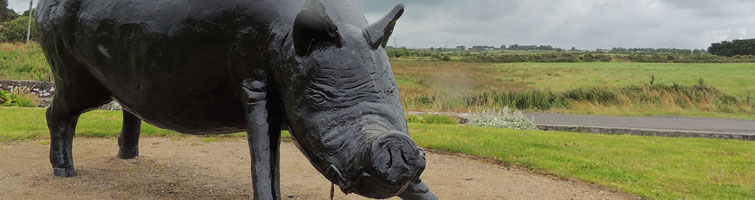 mayo-ireland-enniscrone-black-pig