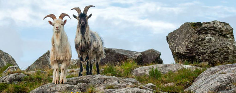 Feral Goats In County Mayo In The West Of Ireland Mayo